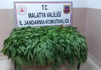 Malatya'da 22 bin 998 kök kenevir ele geçirildi