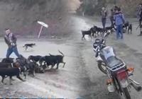 İnsanlıktan utandıran görüntü! Yavru domuzu köpeklere parçalattılar