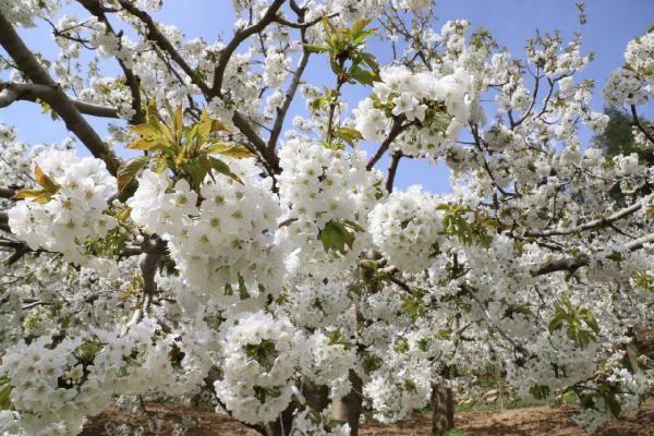 Andırın, kiraz ağacı çiçekleriyle bembeyaz - Sayfa 1