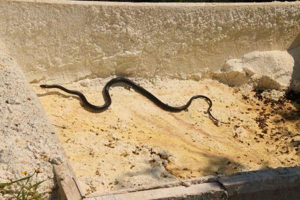 Kuşadası'nda görülen siyah yılanlar endişe yarattı - Sayfa 1