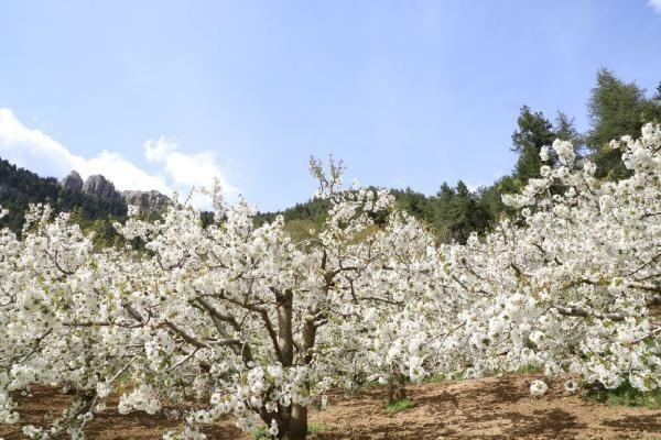 Andırın, kiraz ağacı çiçekleriyle bembeyaz - Sayfa 2