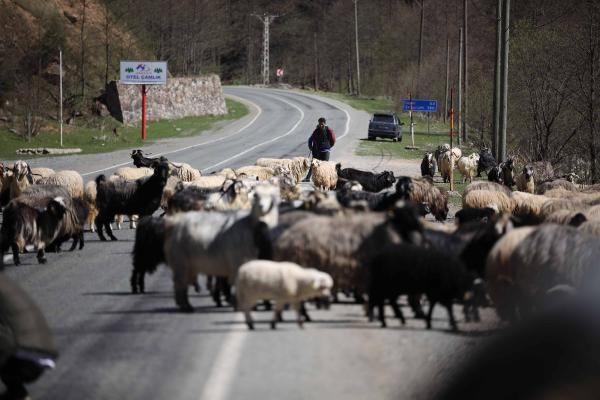 Yayla göçü başladı, kara yolu sürülere kaldı - Sayfa 3