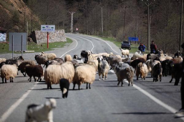 Yayla göçü başladı, kara yolu sürülere kaldı - Sayfa 4