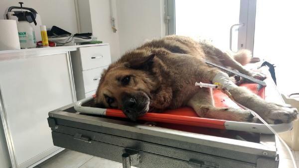 Otomobil çarpan köpeği sedye ile veterinere taşıdılar - Sayfa 2