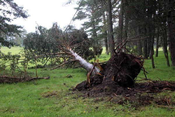 Bolu'da fırtına çam ağaçlarını devirdi - Sayfa 1