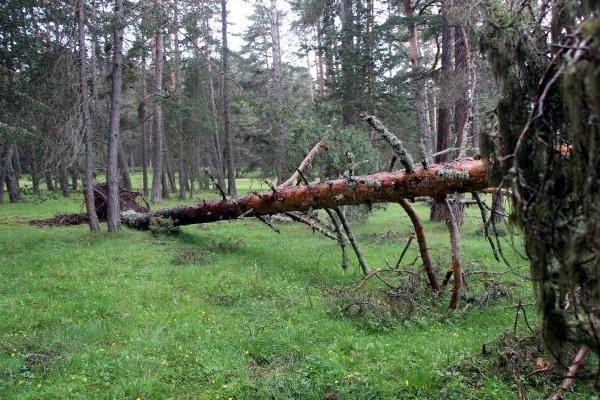 Bolu'da fırtına çam ağaçlarını devirdi - Sayfa 2