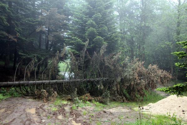 Bolu'da fırtına çam ağaçlarını devirdi - Sayfa 4