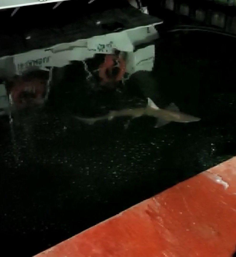 Haliç'te köpek balığı görüntüledi - Sayfa 4