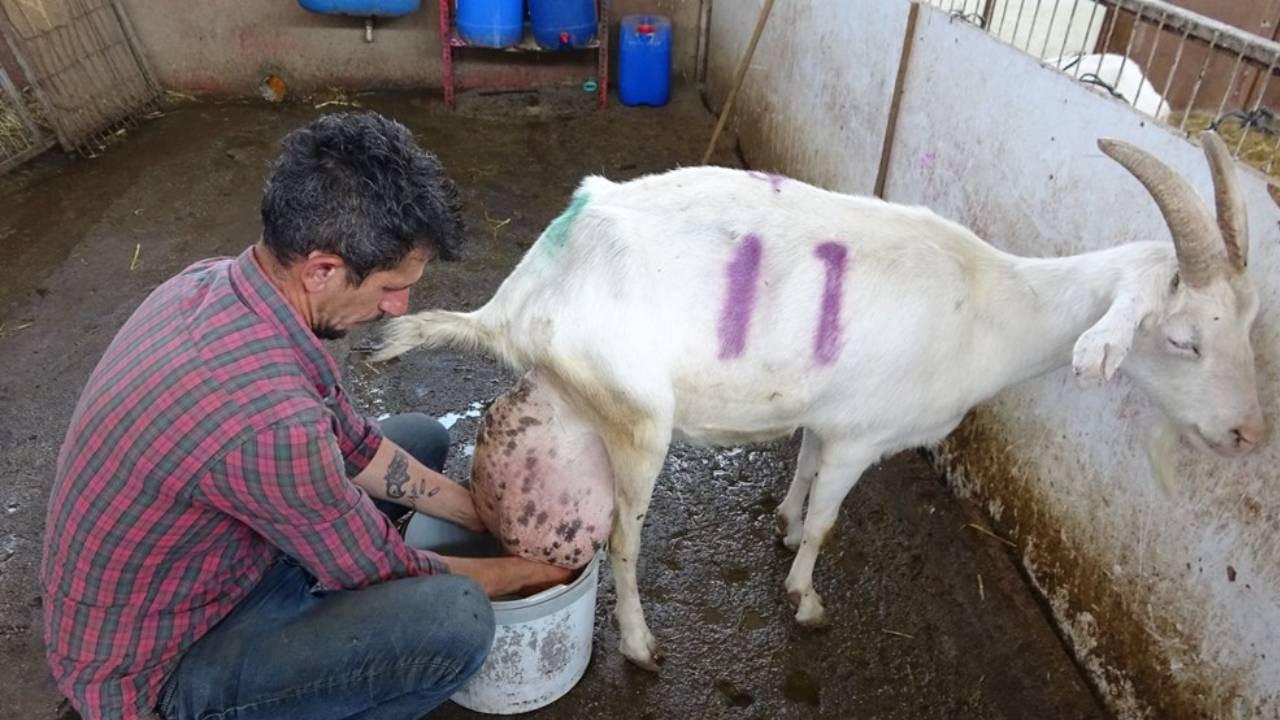 Keçi ağırlığının yarısı kadar süt verdi!