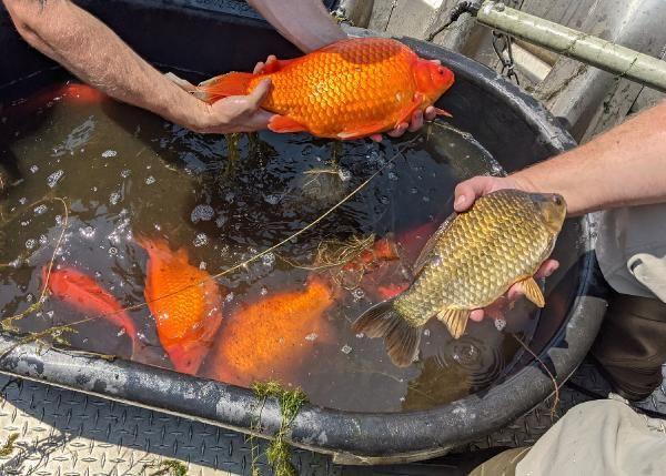 ABD'nin Minnesota eyaletinde futbol topu büyüklüğünde Japon balığı istilası - Sayfa 2