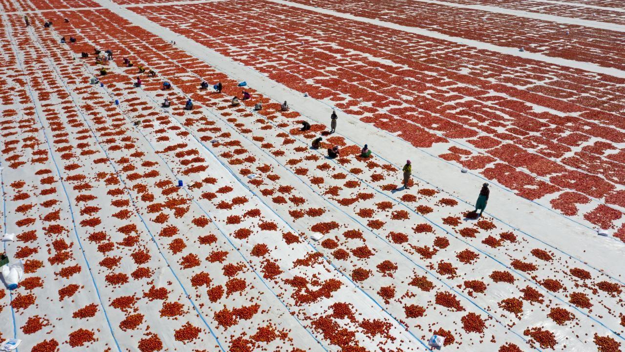Ege ovalarında kuru domates mesaisi başladı - Sayfa 2