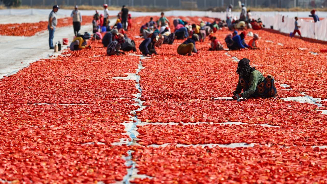 Ege ovalarında kuru domates mesaisi başladı - Sayfa 3
