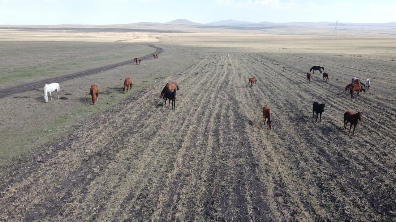 Yılkı atlarının yem bulma mücadelesi - Sayfa 4
