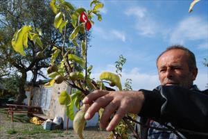 Armut Ağaçları İkinci Meyveyi Verdi
