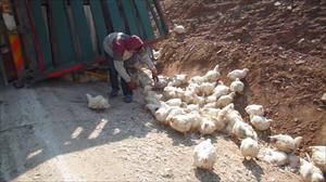 Tavuklar yola saçıldı