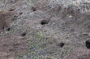 Çiftçilerin başı farelerle dertte