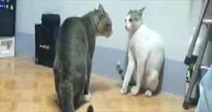 Boksör kediler sosyal medyayı salladı