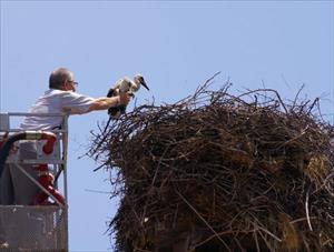 Sındırgı'da yıkımı geciktiren leylek yavrularına halka takıldı