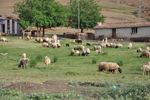 İslahiye'de 9 mahallede şap karantina uygulaması