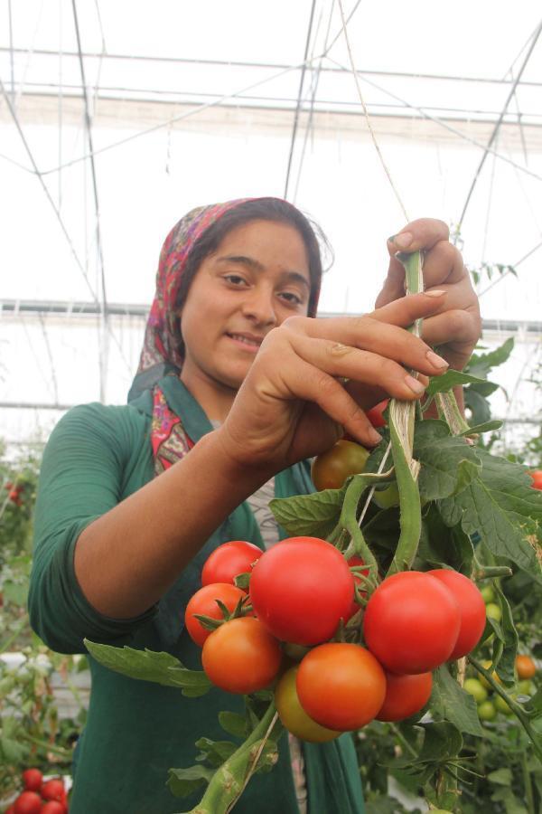 Rusya'ya ihraç edilemeyen sera domatesleri elde kaldı
