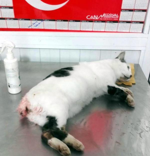 Kuyruğu kopan kedi tedavi edildi