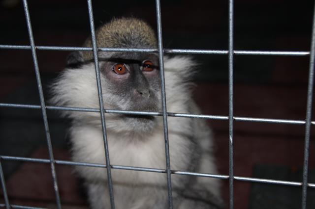 Sevimli maymunlar Bilecik'in ilgi odağı oldu