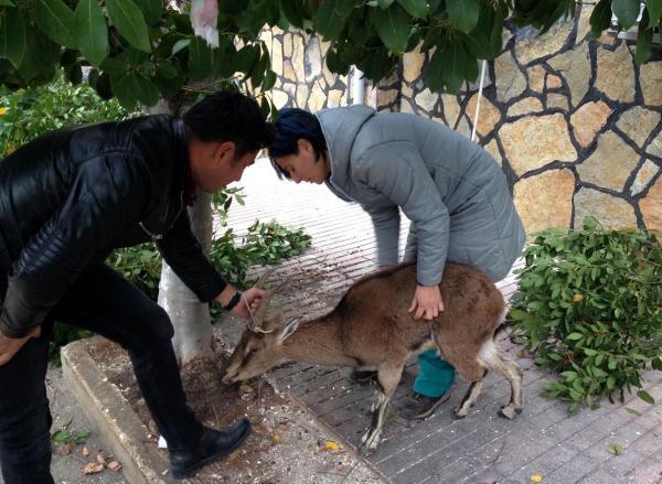 Yorgun ve bitkin bulunan gebe yaban keçisi doğaya salındı