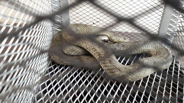 Otomobile giren yılan sürücünün ayağına dolandı