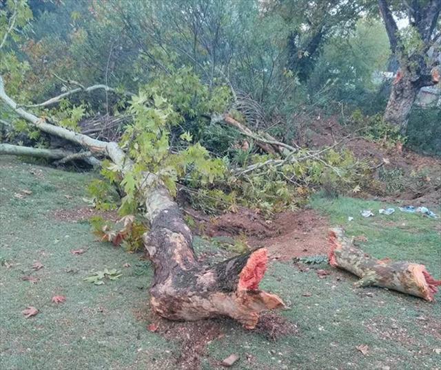 100 yıllık çınar ağaçlarının kesilmesine tepki
