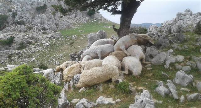Yıldırım düştü: 22 koyun telef oldu
