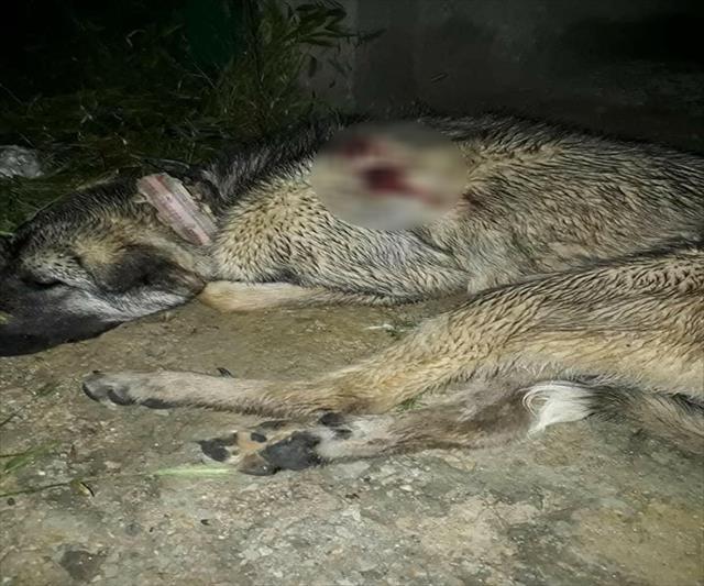 Hamile çoban köpeğini öldürdüler!