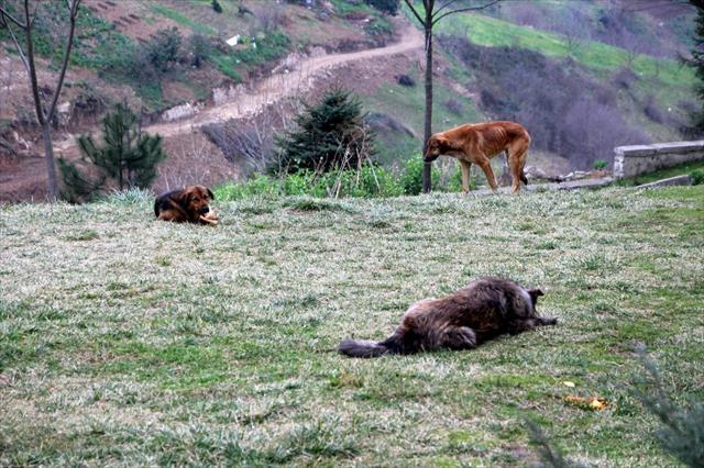 Trabzon'da bir mahallenin başı köpeklerle dertte