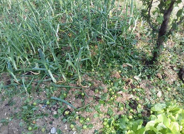 Manisa'da tarım arazilerini dolu vurdu