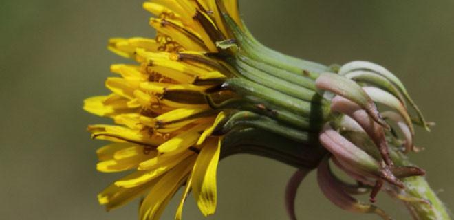 Günde 5 çiçek sapı tüketirseniz eğer...