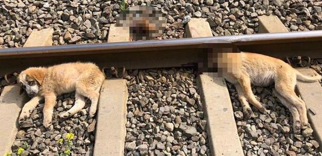 Aydın'da 3 köpeği raylara iple bağlayarak ölüme terk ettiler!