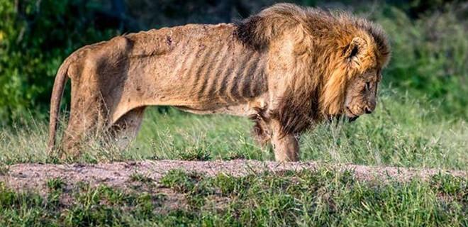 Aslanın son anları