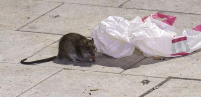 Şehri dev fareler bastı!