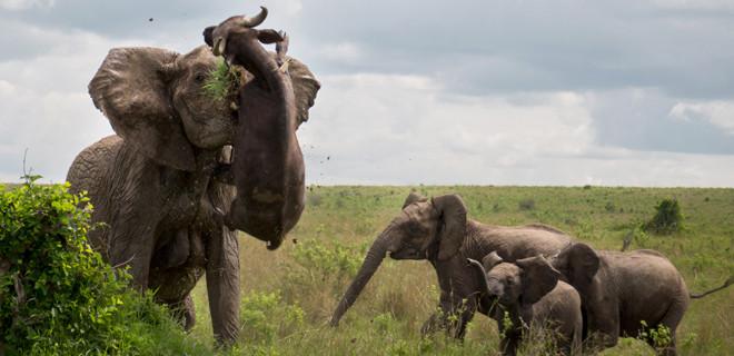 Bufalonun sonu kötü bitti!