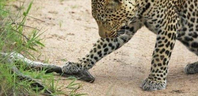 Leopar 2 metrelik pitonla karşılaşınca...