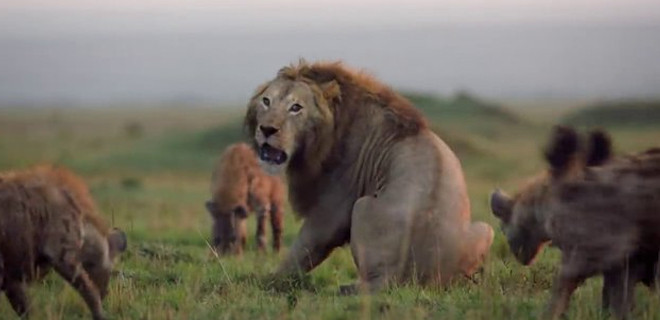 Aslanın imdadına bakın kim yetişti?