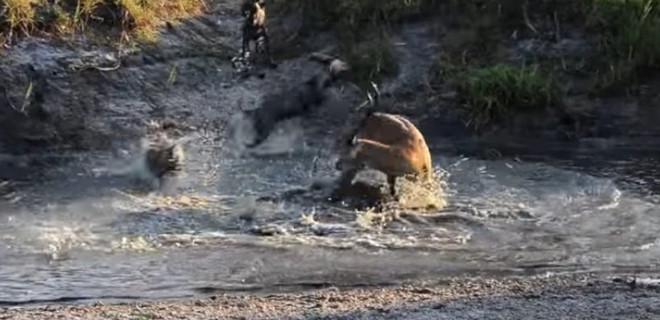 Antilop sırtlan sürüsüne av oldu