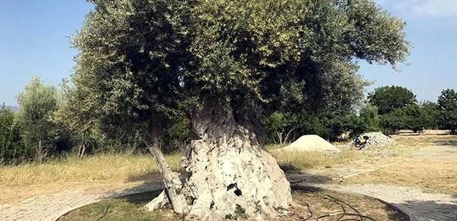 İşte Cumhurbaşkanı Erdoğan'ın 'gidip, göreceğiz' dediği asırlık zeytin ağacı