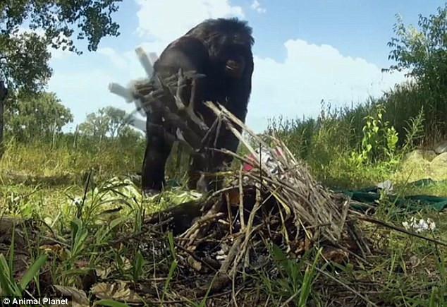 Kamp yapan maymun şaşırttı