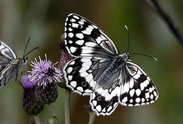 Kelebeklerin ömrü bir gün değil