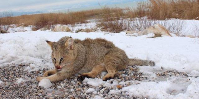 Bu hayvan Konya'da görüldü!