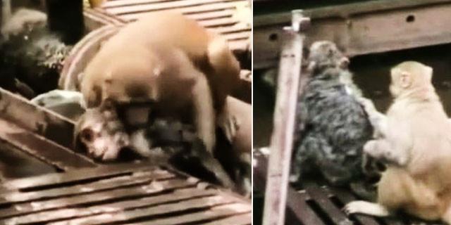 Vefakar maymun arkadaşını böyle kurtardı