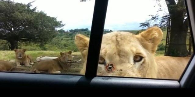 Aslan arabanın kapısını açarsa...