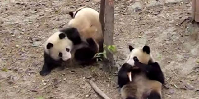 Çiftleşen pandaların davetsiz misafiri