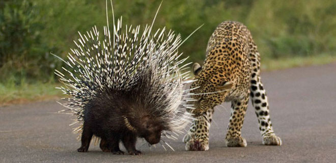Leoparın zor anları,