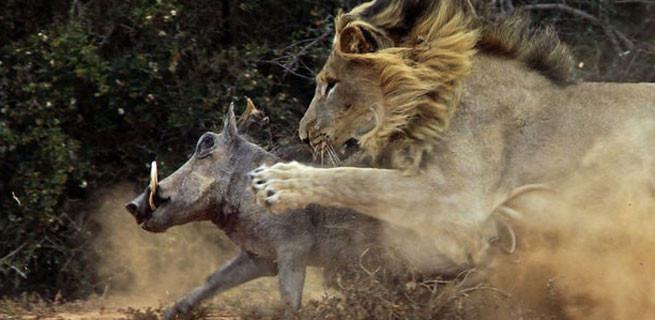 Vahşi doğada ölüm kalım savaşı